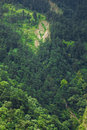 Forest on mountainside Royalty Free Stock Photo