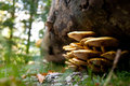 Forest mushrooms yellow on a fallen tree Royalty Free Stock Photos