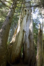 Forest old wood at denny creek area north bend washington us Royalty Free Stock Photos
