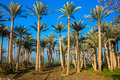 A Forest of Palm Trees Royalty Free Stock Photo