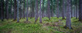 Forest Panorama Royalty Free Stock Photo