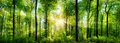 Forest panorama with rays of sunlight Royalty Free Stock Photo