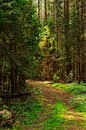 Forest path the in the of conifers Royalty Free Stock Image