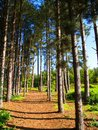 Path through pine trees Royalty Free Stock Photo