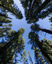 Forest Perspective Royalty Free Stock Photo
