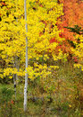 Forest of pine aspen and mapletrees in fall autumn foliage including birch maple trees with Stock Photography