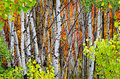 Forest of pine aspen and mapletrees in fall autumn foliage including birch maple trees with Royalty Free Stock Photo