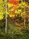 Forest of pine aspen and mapletrees in fall autumn foliage including birch maple trees with Royalty Free Stock Image
