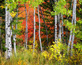 Forest of pine aspen and pine trees in fall autumn foliage including birch maple with Stock Images