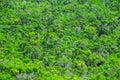 Forest pine tree leaves texture selvagem Fotografia de Stock