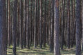 Forest of pine trees