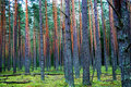 Forest of pines Royalty Free Stock Image
