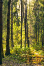 Forest After Rain Royalty Free Stock Photo