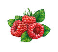 Forest raspberry on white background.