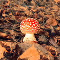 Forest red mushroom Stock Images