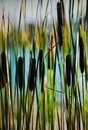 Through the forest of the reeds Royalty Free Stock Photo