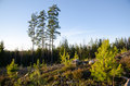 Forest regeneration with pine tree plants at a clearcut area old trees in the back Stock Photo