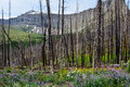 Forest regeneration a white pine burned by a fire reveals the first stages of revealing a vast carpet of wildflowers and Royalty Free Stock Images