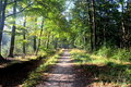 Forest road surrounded with oak trees Royalty Free Stock Photo