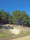 Forest on sandhill pine trees growing the sand dune Royalty Free Stock Image