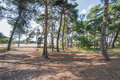 Forest of Scots Pine trees in summertime Royalty Free Stock Photo