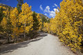 Forest Service road lined with Aspen Trees Royalty Free Stock Image