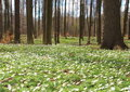 Forest in spring with white windflowers bed of Royalty Free Stock Images