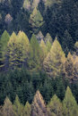 Forest of spruces and larches in spring Royalty Free Stock Photo