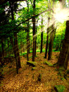 Forest and sun rays Stock Image