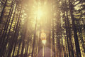 Forest sunlight shining in dense fir tree Royalty Free Stock Photography