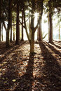 Forest sunlight sun shining through trees in Royalty Free Stock Images