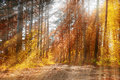 Forest sunny autumn landscape -row of autumn yellowed trees under autumn sunshine Royalty Free Stock Photo