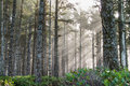 Forest sunrays Royalty Free Stock Photo