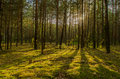Forest sunset sun trees eventide calm quiet moss pine spruce Stock Photo