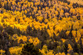 Forest of tall yellow Aspen trees Royalty Free Stock Photo