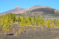Forest In Teide National Park Tenerife Royalty Free Stock Photo