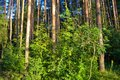 Forest thickets. A tourist itinerary for experienced travelers. Russia Royalty Free Stock Photo