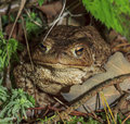 Forest toad photo of standing amidst rich floor Stock Photography