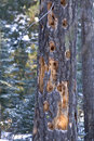 Forest Tree Damaged By Woodpeckers