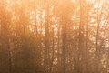 Forest tree, Early morning magic sunset Royalty Free Stock Photo