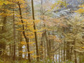 Forest trees in autumn leaf Royalty Free Stock Photo