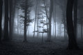 Forest trees in counter light during a mist heavy fog the an autumn day near night Stock Images