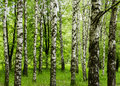 Forest view with birch trees and green grass on a spring summer day nature background outdoor park concept scenery