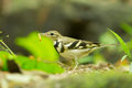 Forest wagtail dendronanthus indicus with her worm in nature of thailand Royalty Free Stock Photography