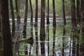 Forest in the water and its reflection Royalty Free Stock Photo