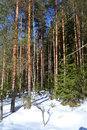 Forest in winter sunny day leningrad region russia Royalty Free Stock Photography