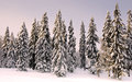 Forest in wintertime with snow on the trees. Stock Photo