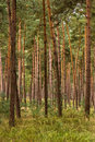 Forest of young pine trees Royalty Free Stock Photo