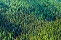 Foresta conifera Fotografie Stock Libere da Diritti