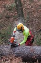 Forestry worker cutting large spruce tree trunk with his chainsaw